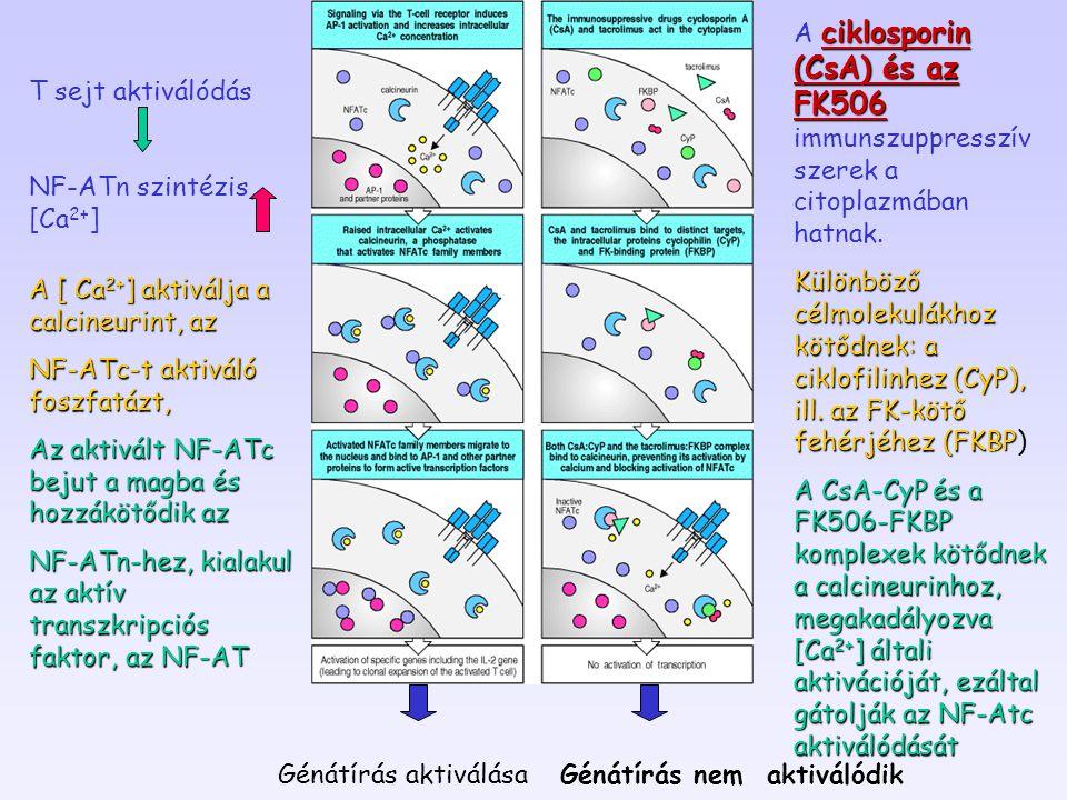 NF-ATn szintézis, [Ca2+]